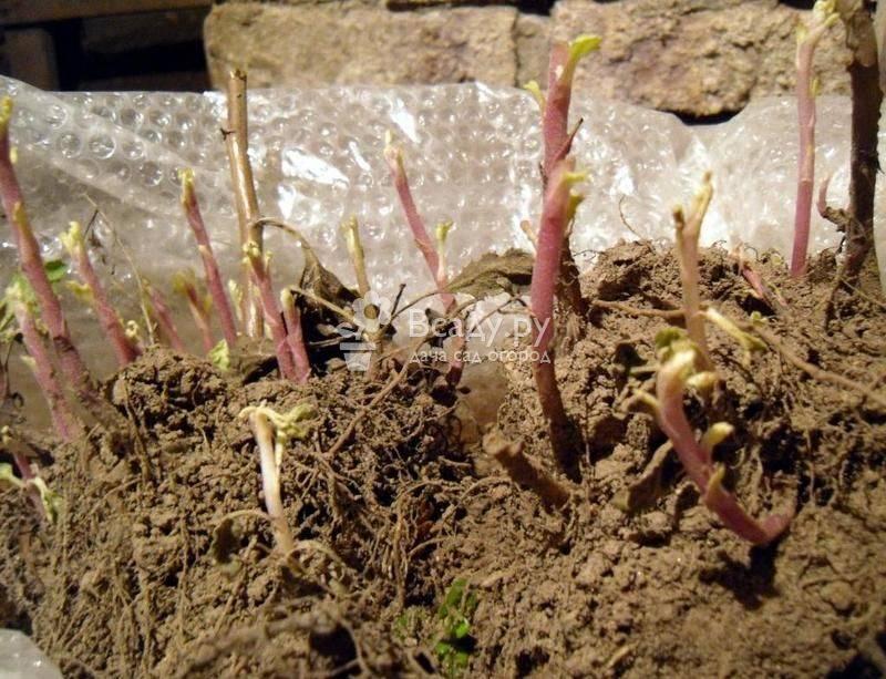 Выращивание хризантем в открытом грунте