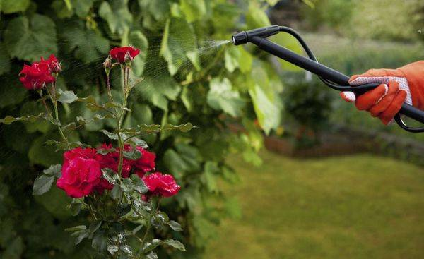 Белый налет на листьях розы как лечить