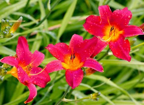 Когда пересаживать лилейники весной или осенью