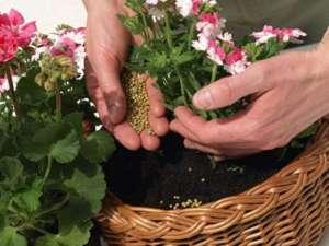 Почему пожелтели листья у герани