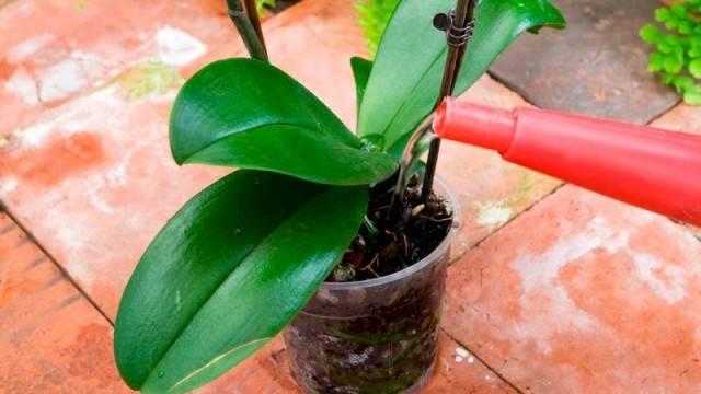 Как поливать орхидею в горшке