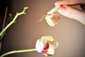 Орхидея дендробиум нобиле
