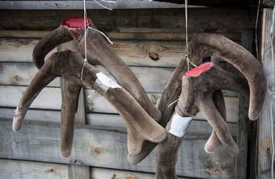 Рога оленя полезные свойства