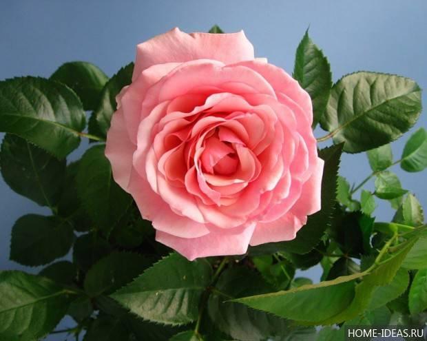 Кустовая роза уход в домашних условиях