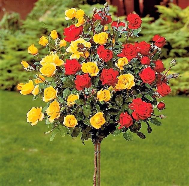 Какие бывают розы