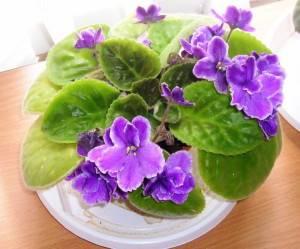 Фиалки удобрения для цветения