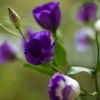 Цветок эустома в домашних условиях