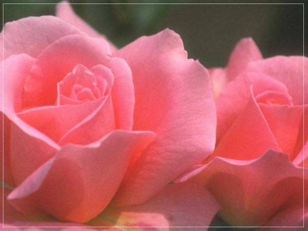 Розы какой окраски издают самый сильный запах