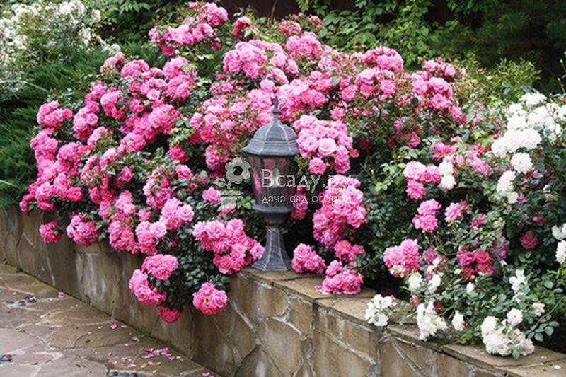 Розы почвопокровные сорта