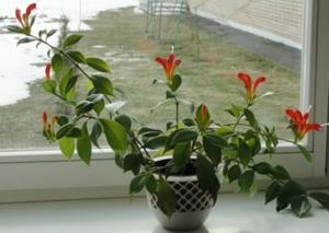 Эсхинантус красивый уход в домашних условиях