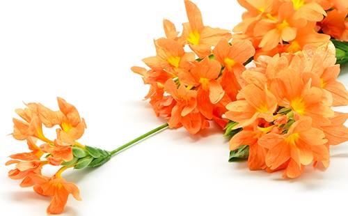 Кассандра цветок комнатный уход