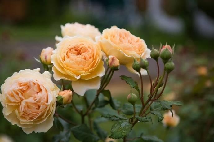 Пионовидные розы сорта