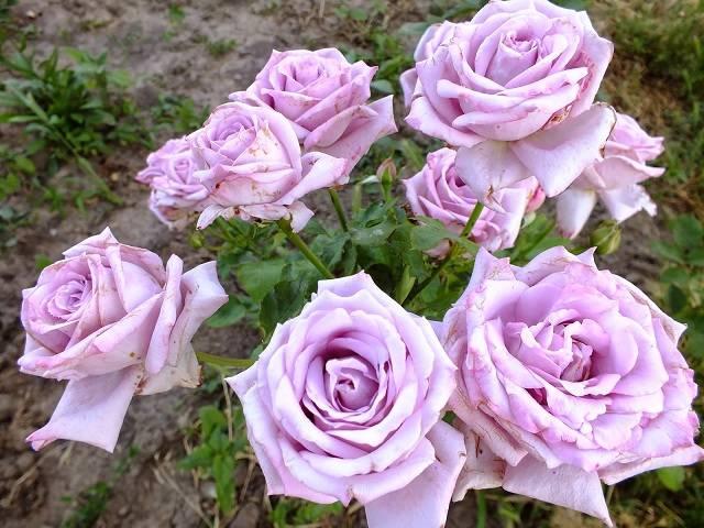 Роза blue moon