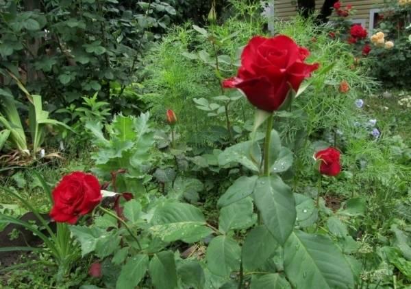 Роза чайно гибридная желтая