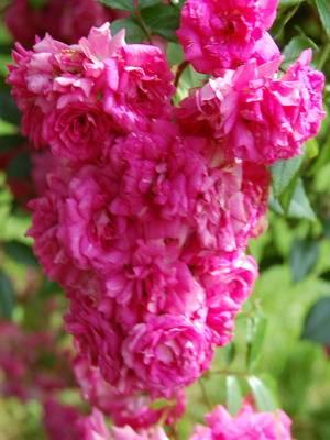 Красные розы сорта