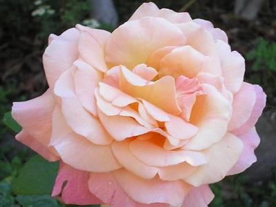 Посадка чайно гибридных роз
