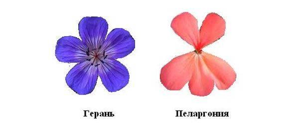 Чем отличается пеларгония от герани