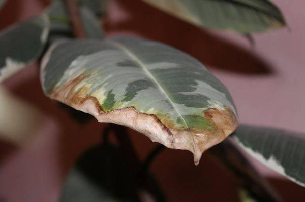 У комнатных цветов сохнут кончики листьев