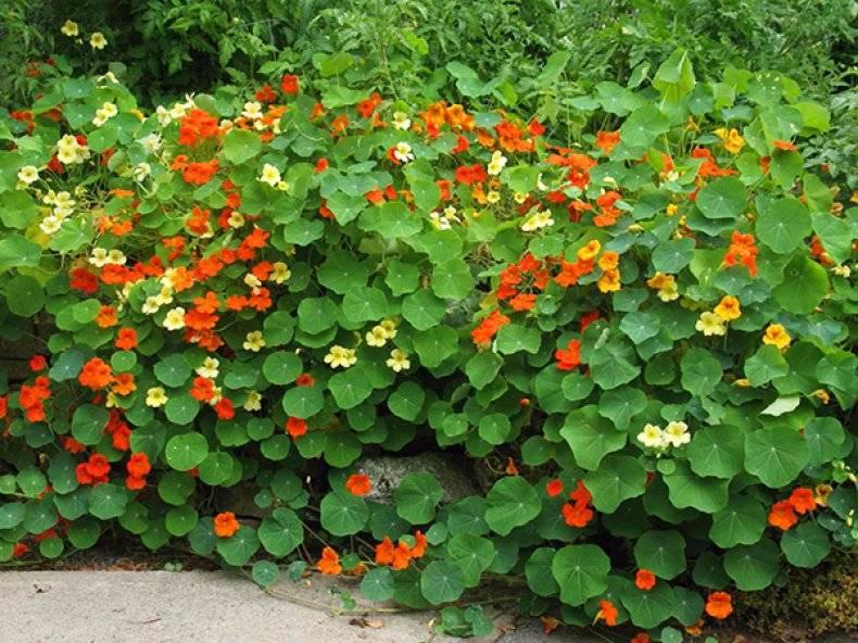 Ампельный цветок