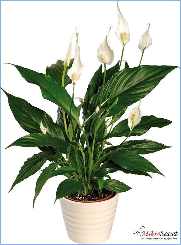 Как цветет растение Спатифиллум