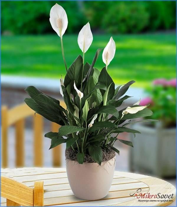 Геликониелистный – сорт среднерослый цветок