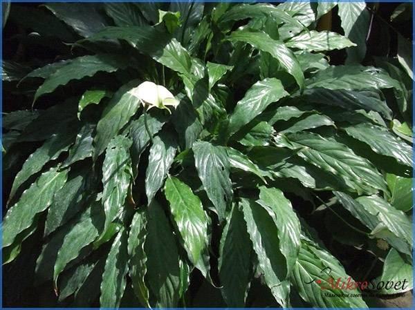 3. Уоллиса – невысокий цветок растения