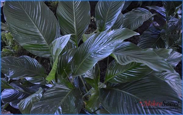 Sensation - гигантский голландский цветок растения