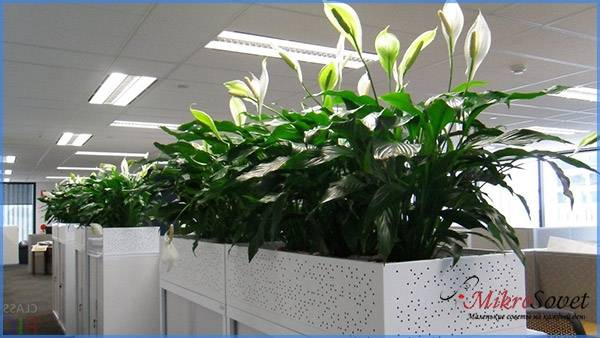 Освищение для растения