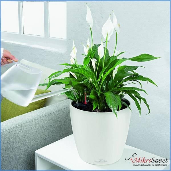 Как правильно поливать растение спатифиллум