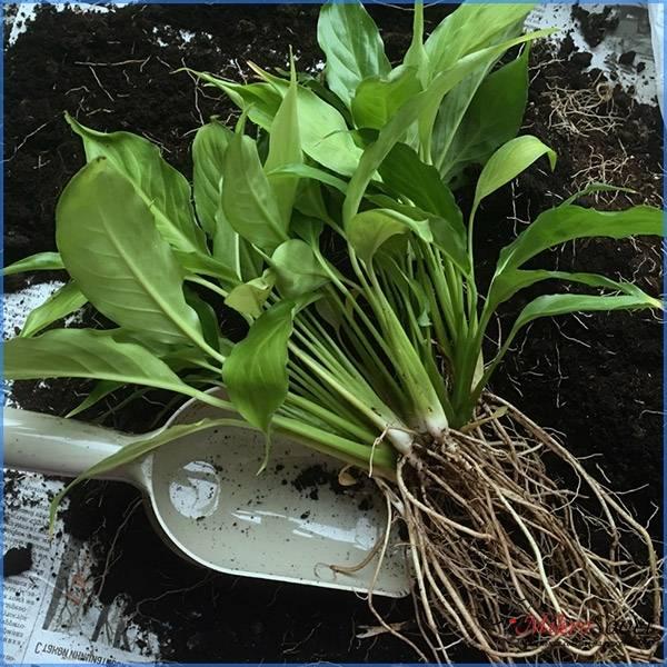 Размножение и пересадка растения спатифиллума