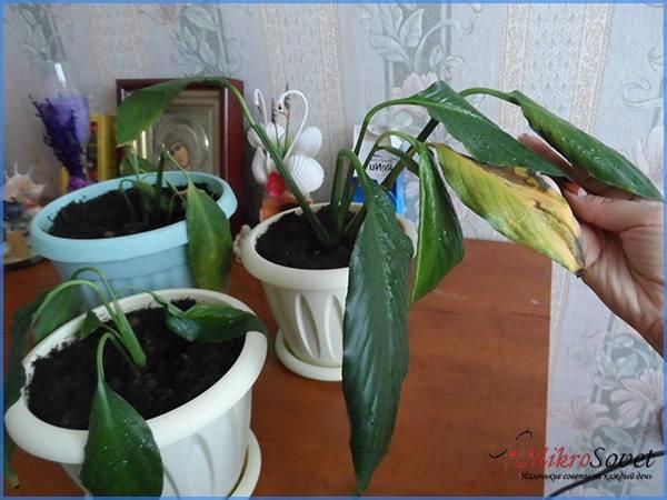 Пожелтели листья растения