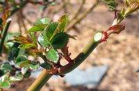 Роза морщинистая рубра