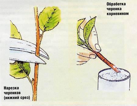 Размножение роз осенью черенками - как размножить - Времена года