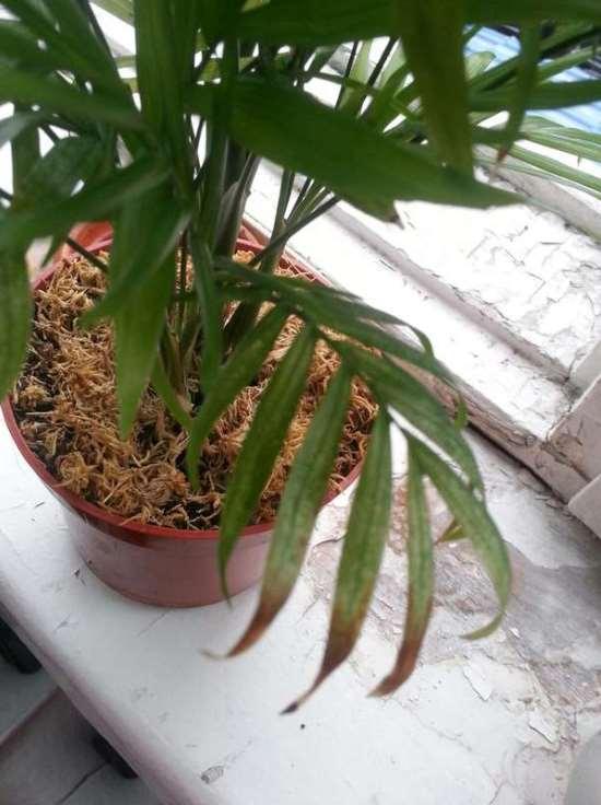 Хамедорея цветок уход в домашних условиях