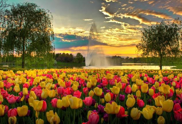Как размножаются тюльпаны