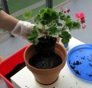 Как пересадить цветок в другой горшок