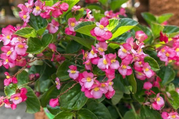 Розовые соцветия