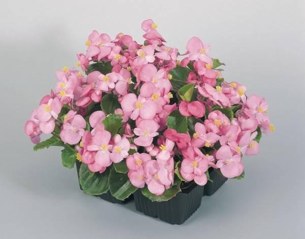 Растение усыпано цветами