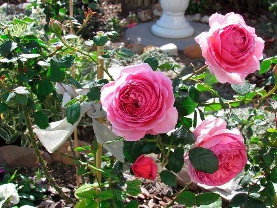 Роза принцесса александра кентская