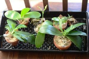Как размножить орхидею в домашних