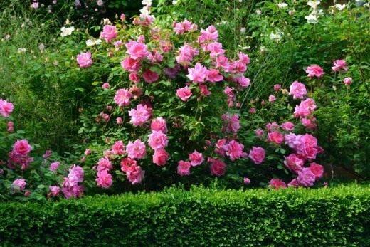 Как выглядит роза