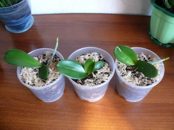 Как орхидея дает деток