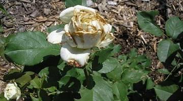 Скручиваются листья у розы