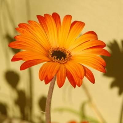 Цветок арктотис