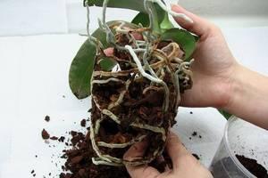 Как обрезать цветонос у орхидеи