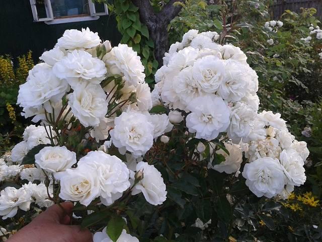 Роза суони