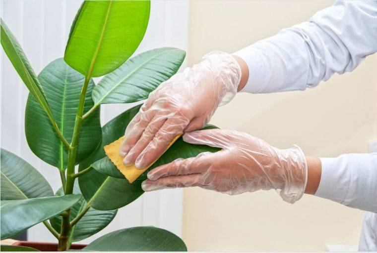 Фикус цветок как ухаживать в домашних условиях