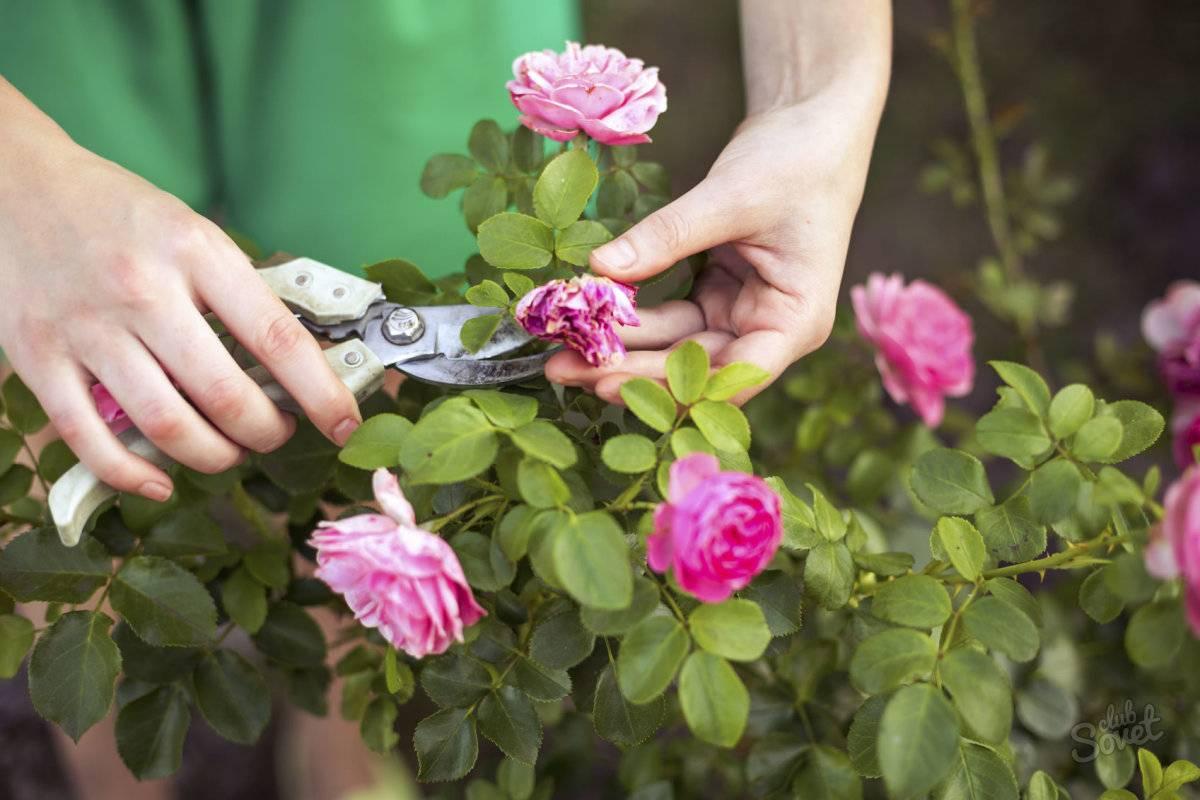 Розы как ухаживать