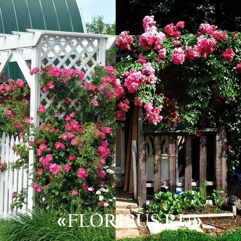 Розы плетистые сорта постоянного цветения