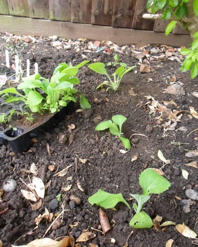 Наперстянка выращивание из семян когда сажать